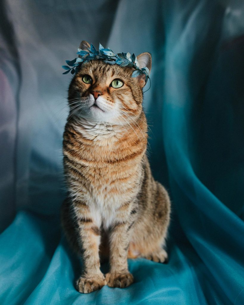 Portrait of Icarus the cat wearing a blue dried floral crown in NYC